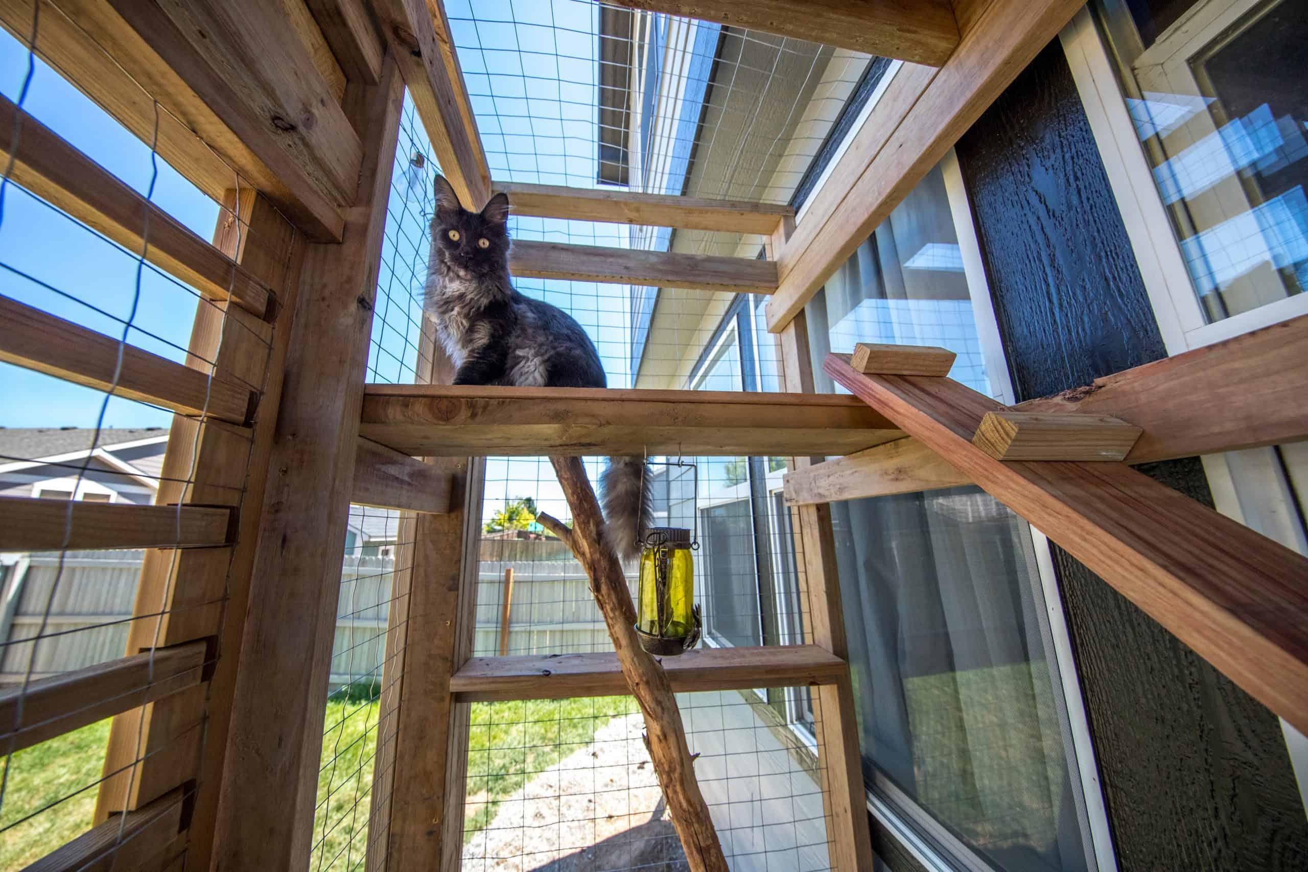 maine coon cat in cat topia catio