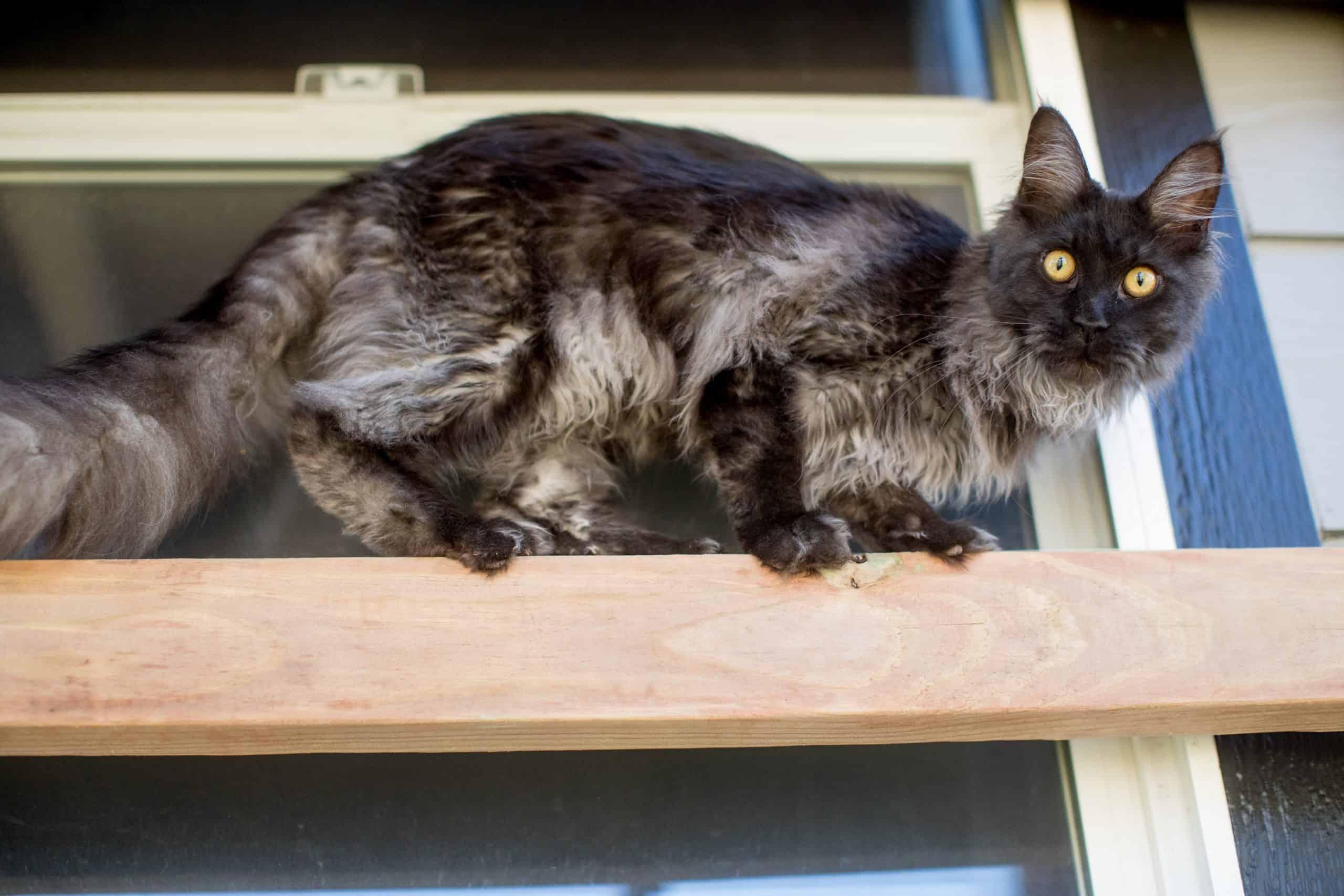 black kitten maine coon in catio