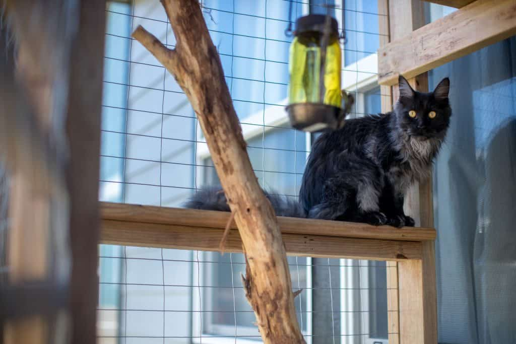 maine coon cat in cat house