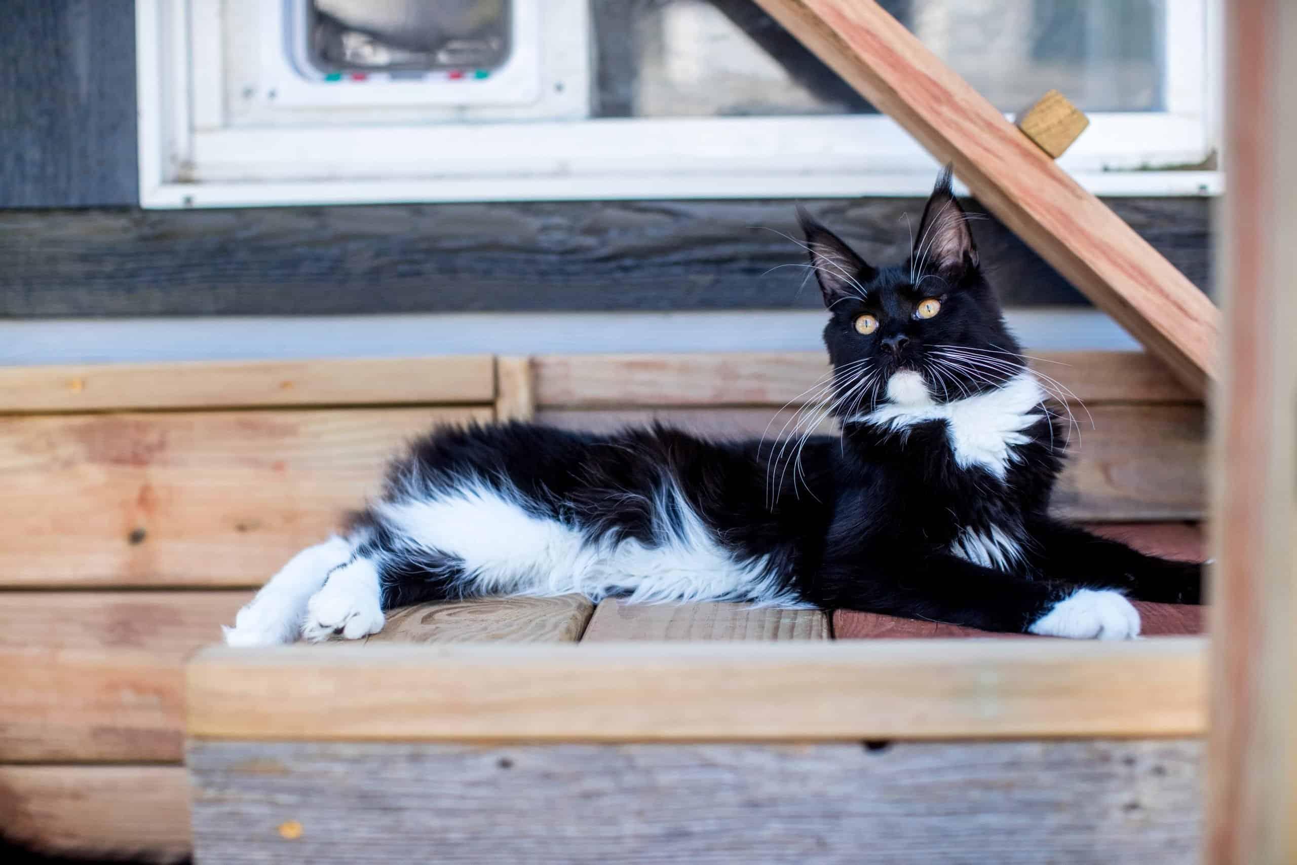 maine coon cat in catio